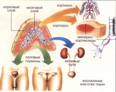 Влияние надпочечников на другие органы