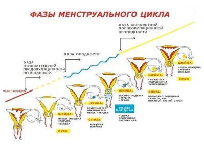 фазы менструального уикла