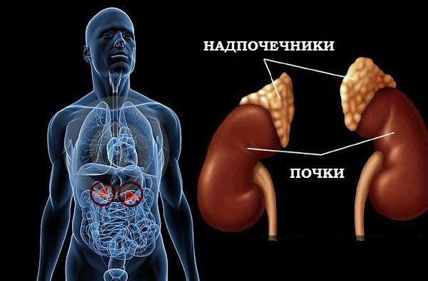 Какие функции у надпочечников в организме