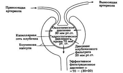схема давления в почке