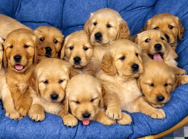 О понимании собаками разговорной речи